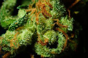 Lecznicza marihuana - remedium na wiele poważnych chorób